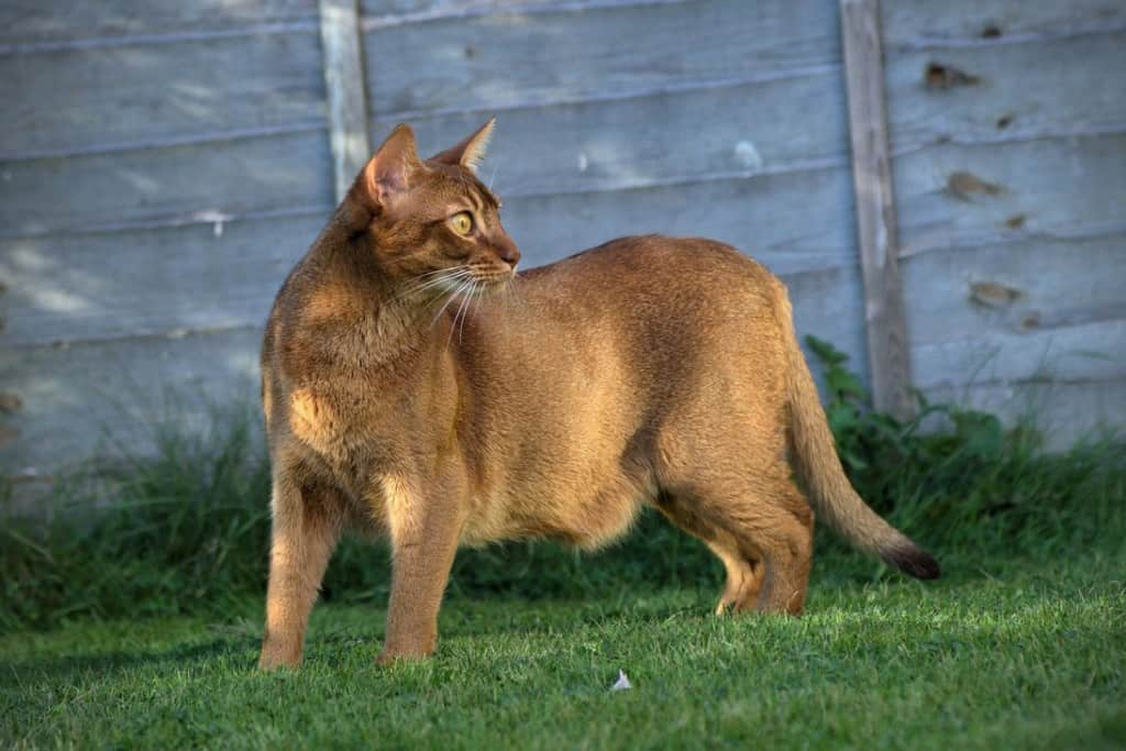 18 Exotic Breeds Of House Cat