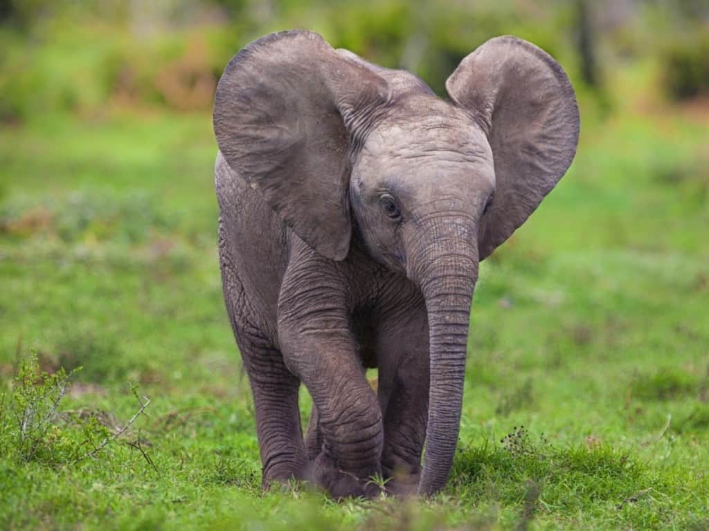 20 Amazing Facts About The Majestic Elephant