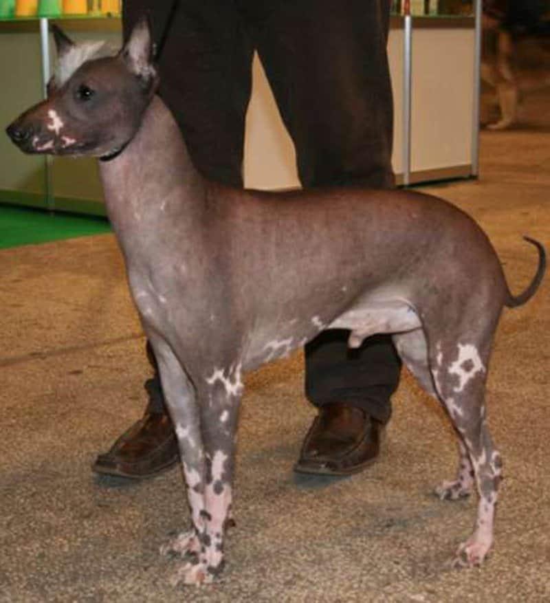 15 Strange And Unusual Dog Breeds