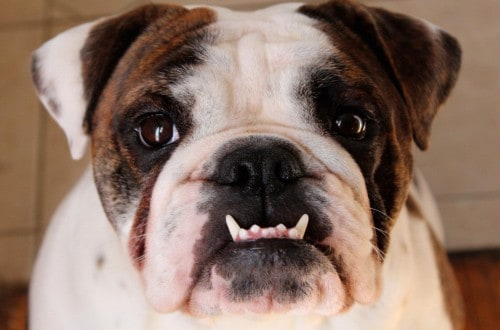 20 Dogs Who Rock Their Underbite