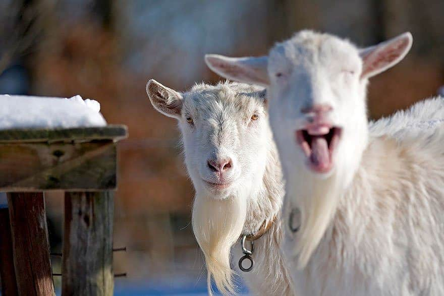 Funny Pictures Of Goats 20 Hilarious Animal Ph...