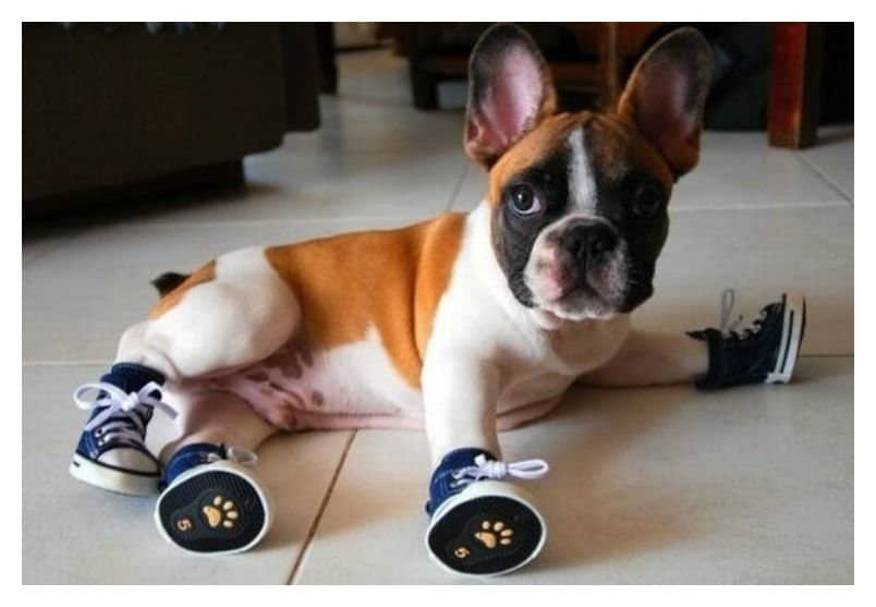 20 Cute Photos Of Animals Wearing Shoes