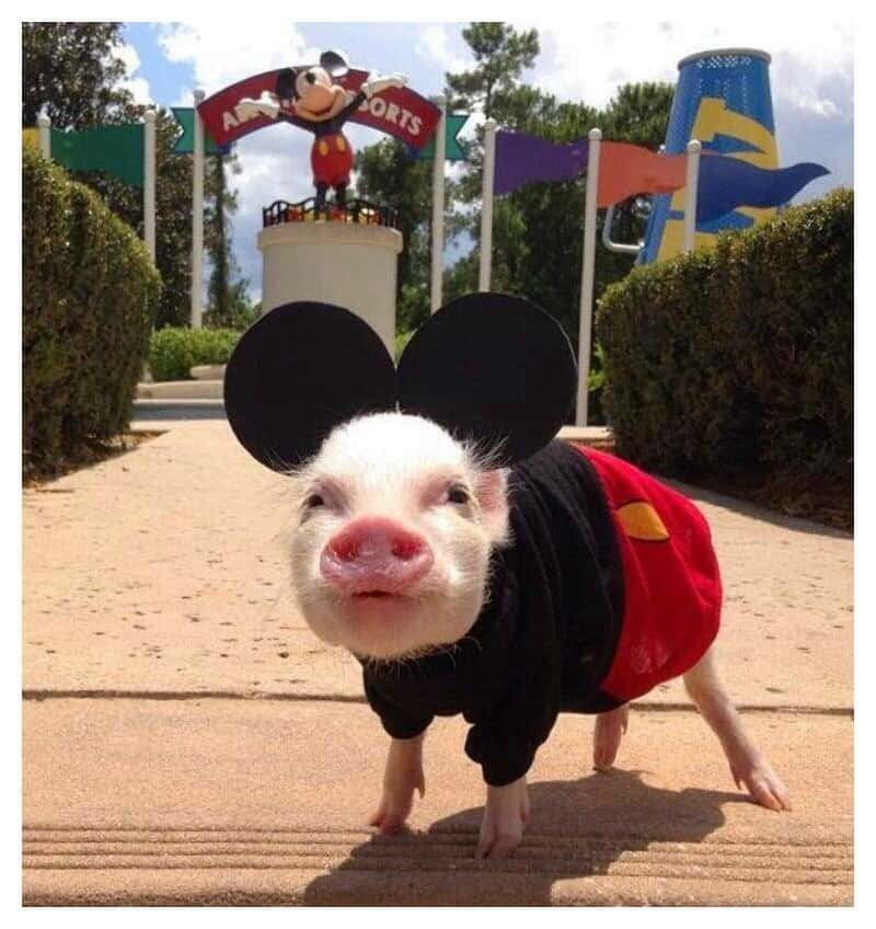 20 Of The Most Fashionable Pigs Youve Ever Seen