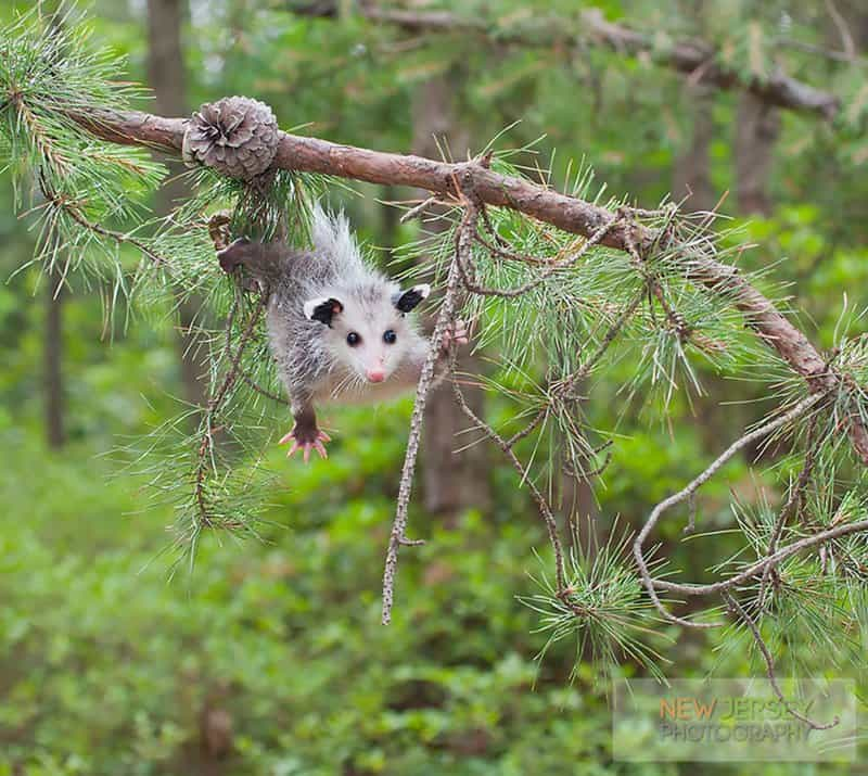10 Adorable Pictures Of Possums And Opossums