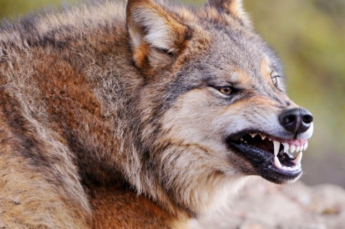 10 Little Known Shocking Facts About Wolves