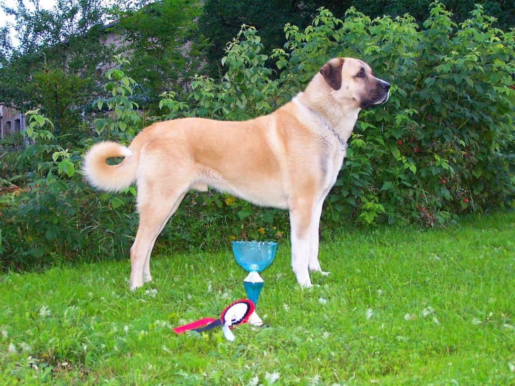 10 of the largest dog breeds in the world
