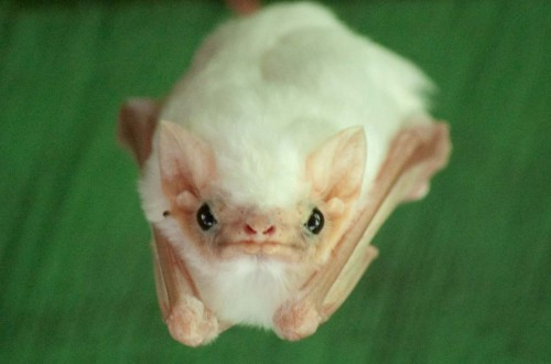 10 Of The Strangest Bats From Around The World