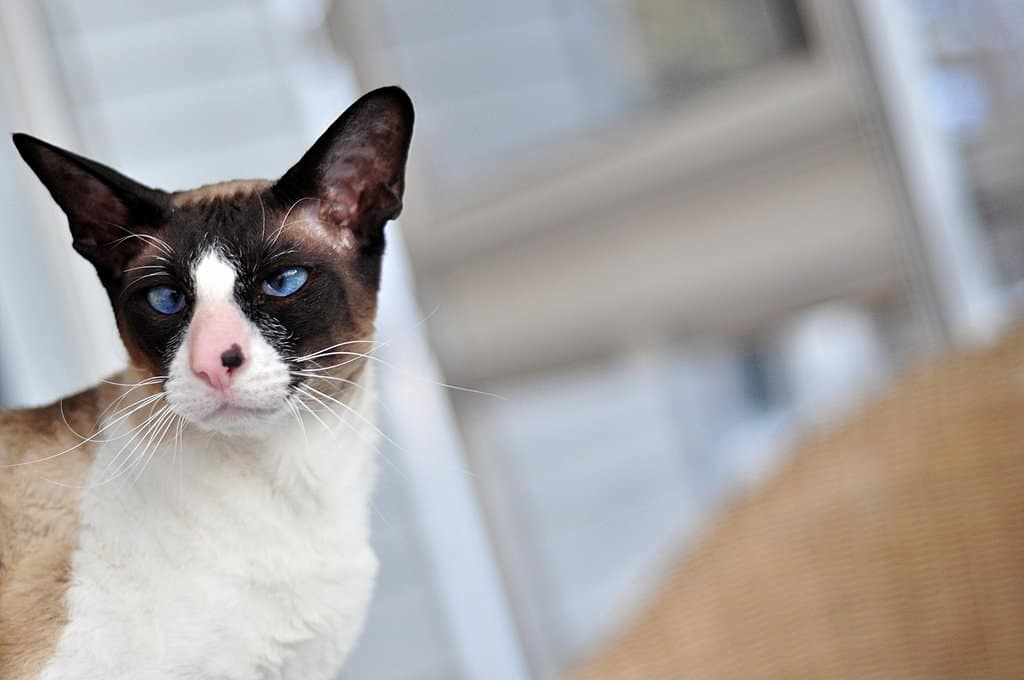 10 Unusual Cat Breeds We Can T Get Enough Of