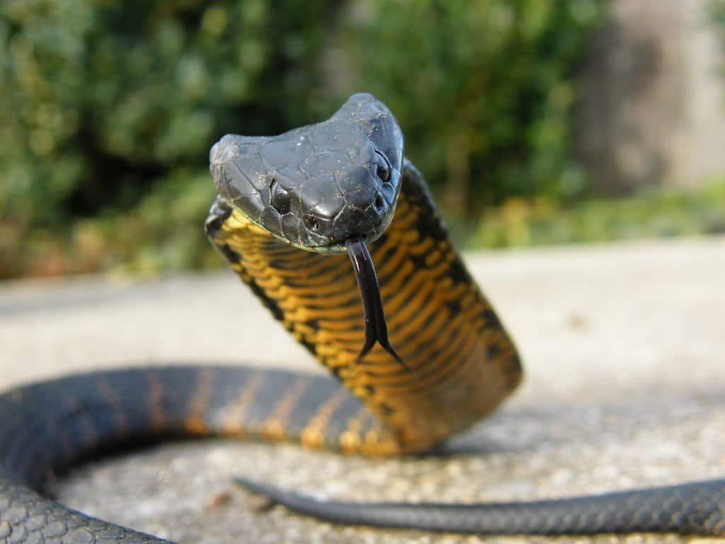 10 Of The Most Venomous Snakes In The World - photo#45