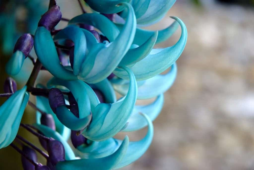 10 of the rarest and most beautiful flowers in the world the jade vine is notable for the piercing blue green coloring the claw shaped flowers and stems that can reach over 18m long mightylinksfo