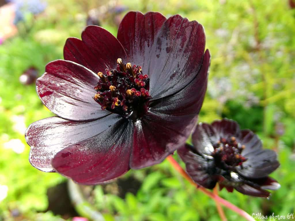 10 of the rarest and most beautiful flowers in the world the chocolate cosmos are a flower that can only be found in mexico and were thought to have been long extinct for the past 100 years izmirmasajfo