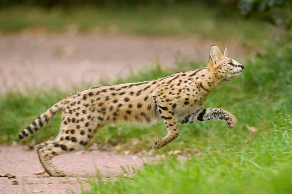 10 Incredibly Rare Wild Cat Species You Didnt Know Exist