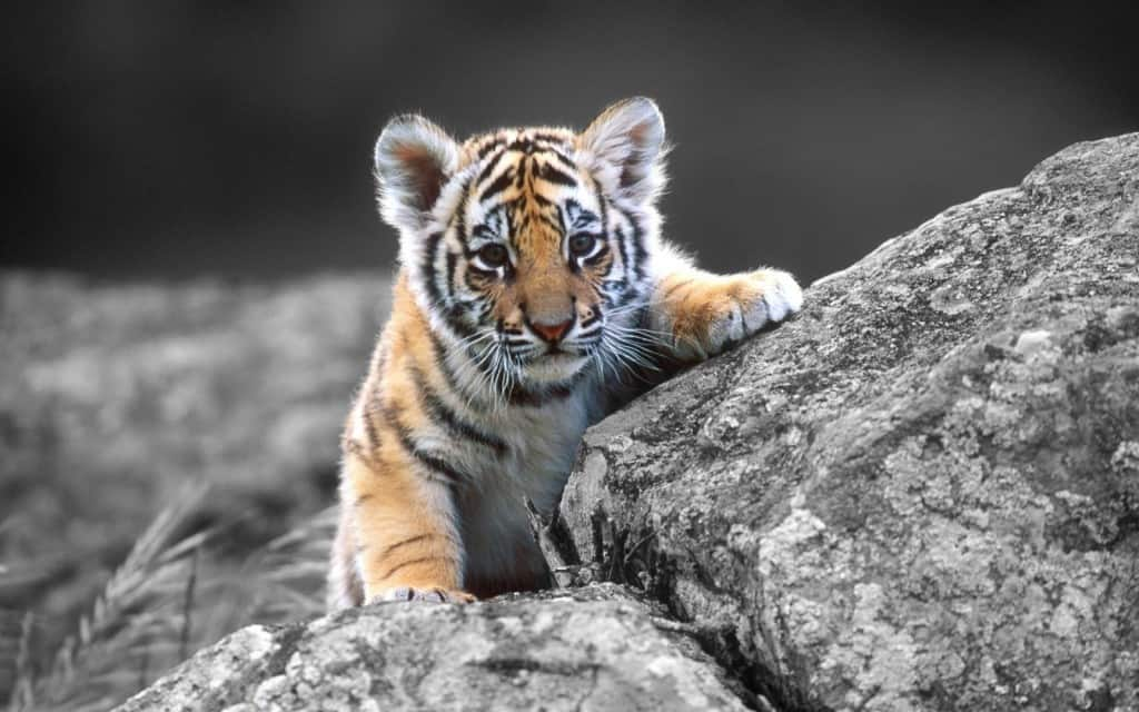 10 Crazy Facts You Didn't Know About Tigers