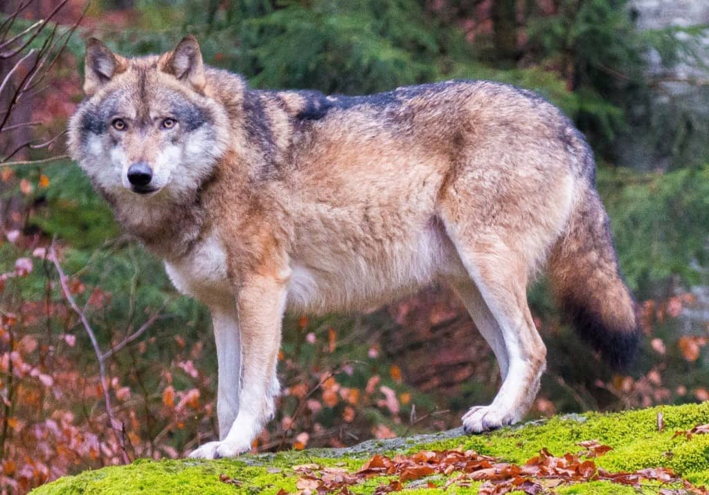 10 Facts You Never Knew About Wolves