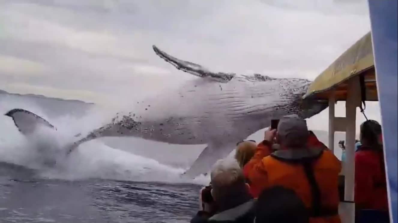 Humpback Whale Launches Into The Air Within Arms Reach Of Tourists